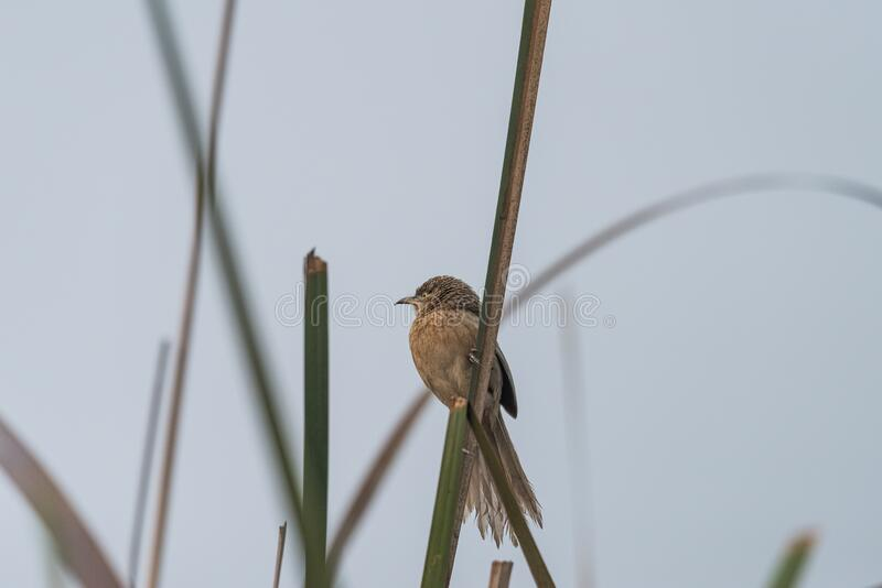 Striated Babbler perched on grass blade stock photos