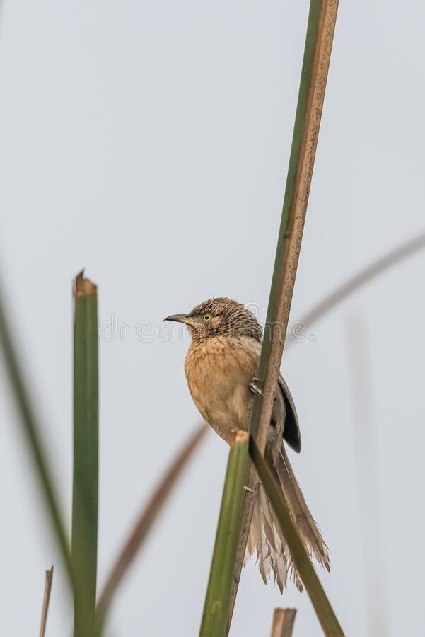 Striated Babbler perched on grass blade royalty free stock images