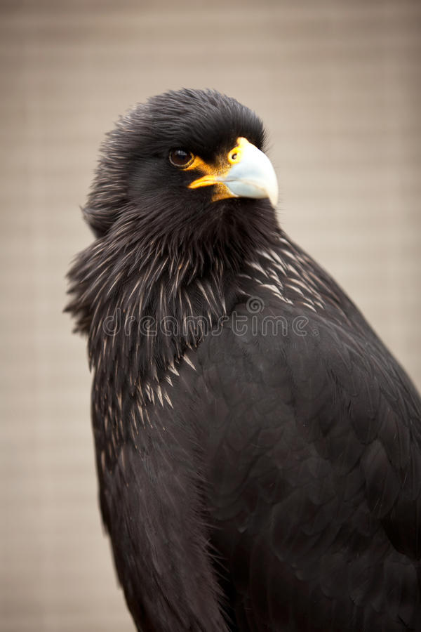 Download Striated caracara stock photo. Image of black, outdoor - 23603076