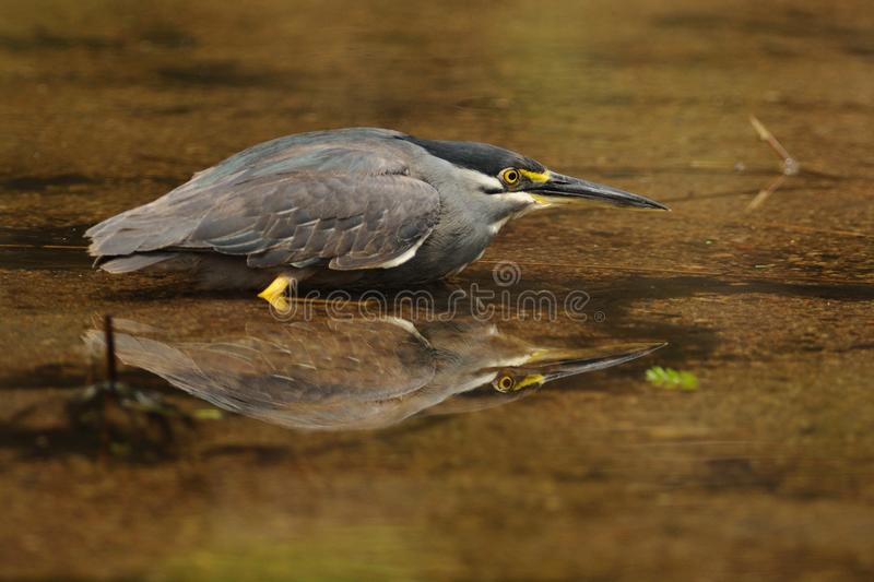 Striated Heron (Butorides Striata). This little heron you can also call mangrove heron, little heron or green-backed heron royalty free stock images