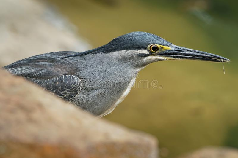 Striated Heron - Butorides striata also mangrove heron, little heron or green-backed heron, mostly non-migratory, breeding in the stock photo