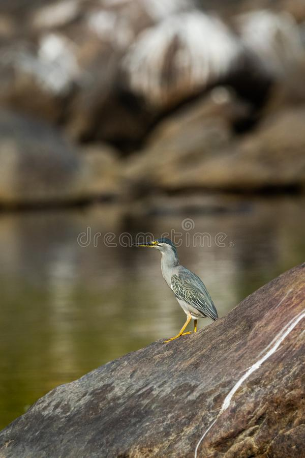 Striated heron or Butorides striata close up sitting on stone perch with a green water background at bank of chambal river stock photography