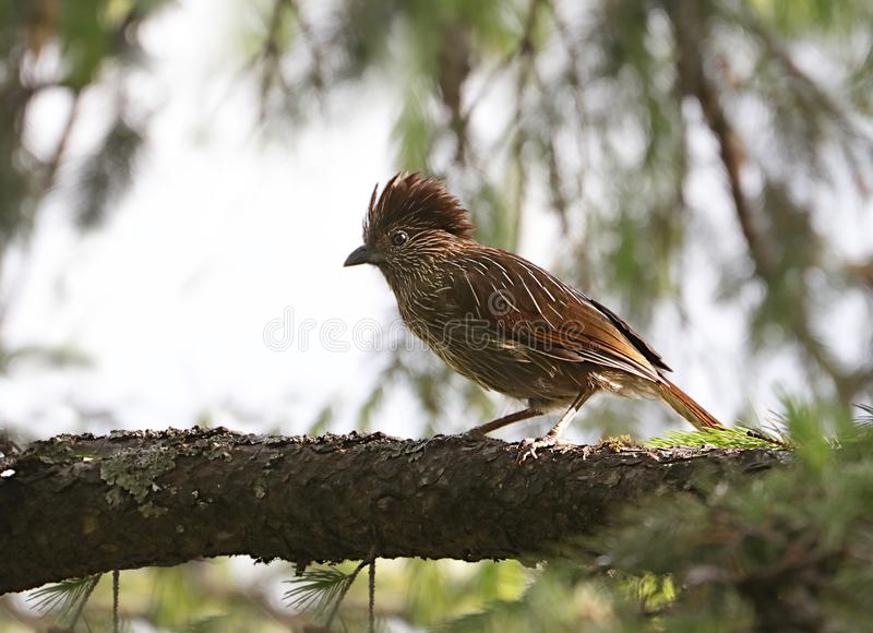 Striated laughingthrush stock photography