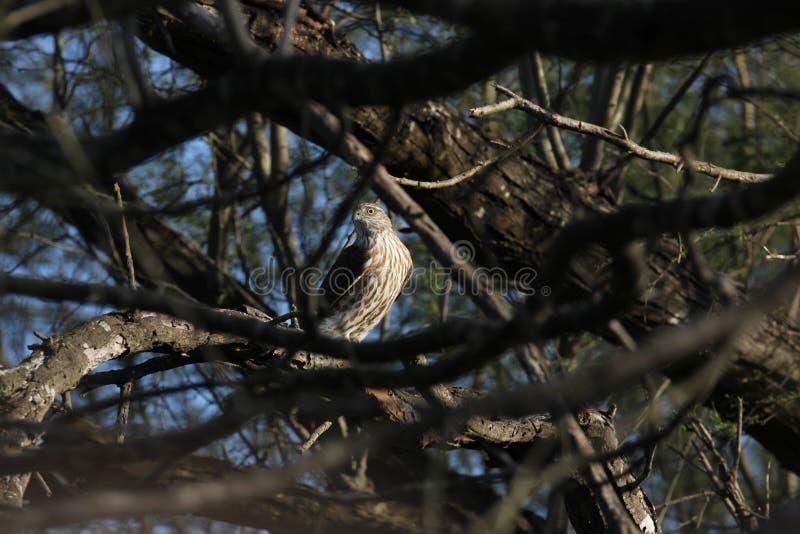 striatus Pointu-shinned de Hawk Accipiter image stock