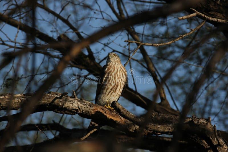 striatus Pointu-shinned de Hawk Accipiter photo libre de droits