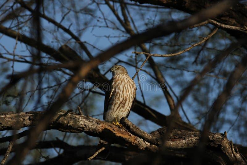 striatus Pointu-shinned de Hawk Accipiter images libres de droits