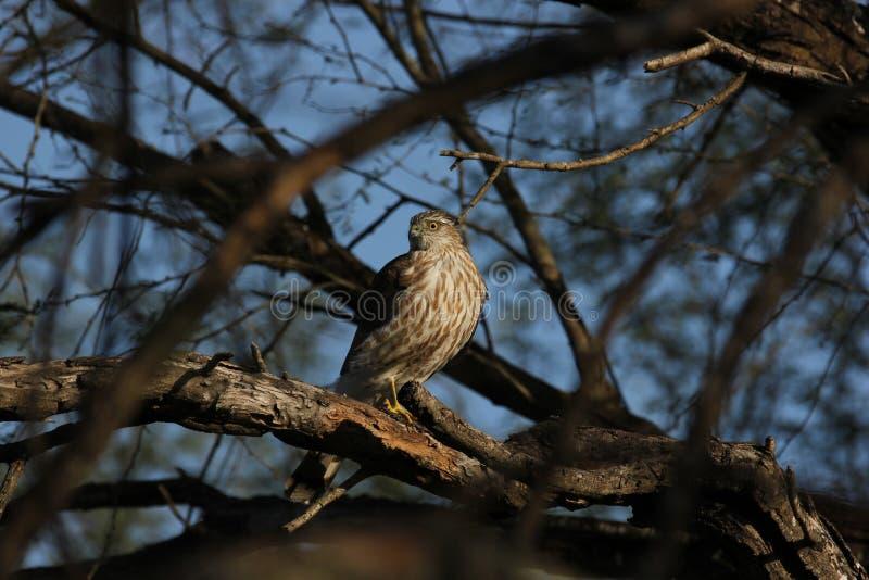 striatus Pointu-shinned de Hawk Accipiter photographie stock libre de droits