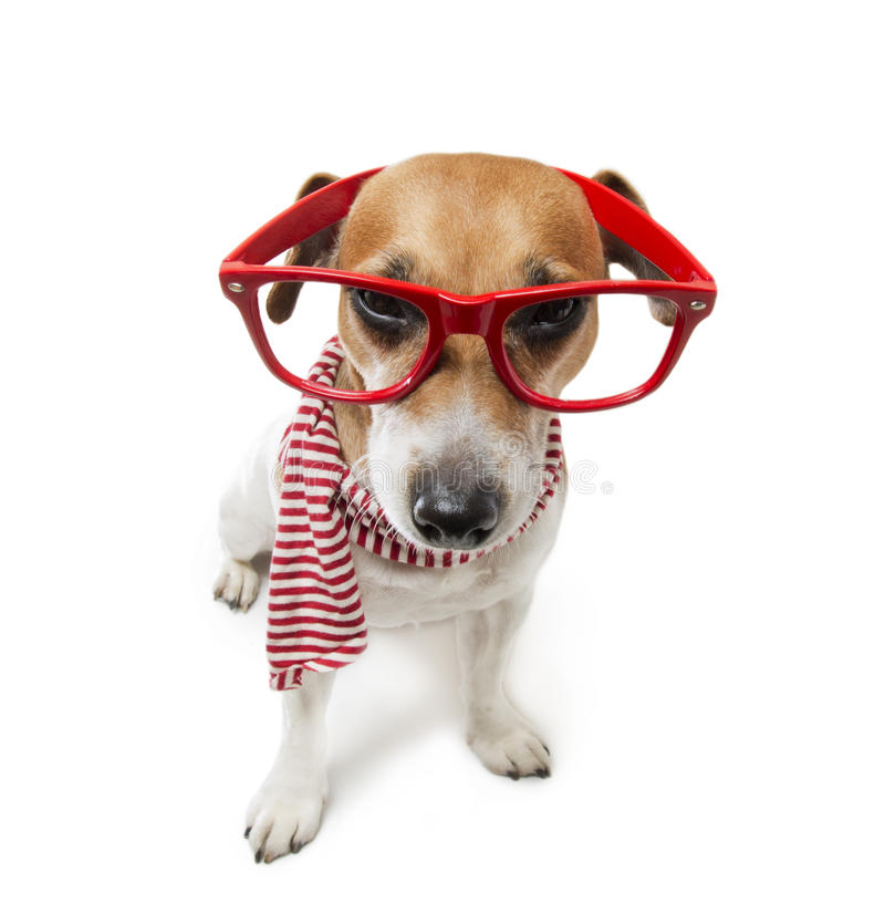 Strict but fair. Stunned stylish small dog strictly looks through his glasses in a striped fashion scarf. Pet fashion. White background. Studio shot royalty free stock photos