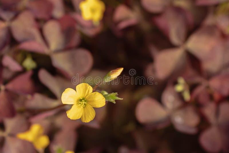 Stricta giallo di oxalis dei fiori del trifoglio, il woodsorrel giallo comune, oxalis giallo comune, giallo-acetosa dritta, trifo fotografia stock