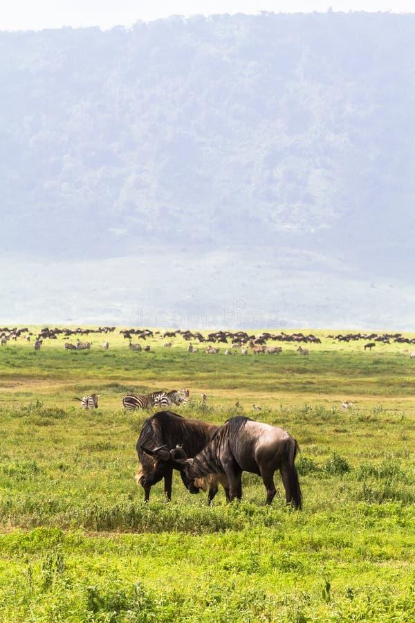 Strid av två antilop Inom krater av Ngorogoro tanzania arkivfoto