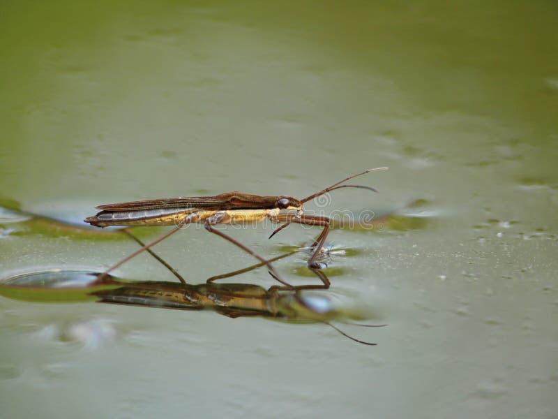 Striders van het water op water. Bezinningen in een vijver. stock afbeelding