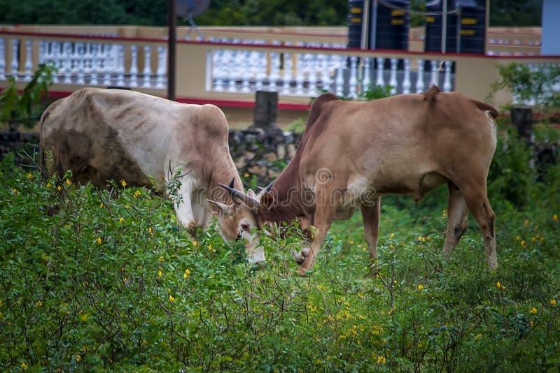 Stridighet för tjur två i lantligt område Tamilnadu arkivbilder