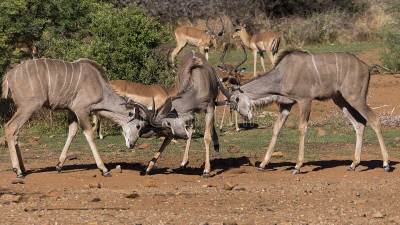 Stridighet för tre ung kudumän, med impalan i bakgrunden arkivbild