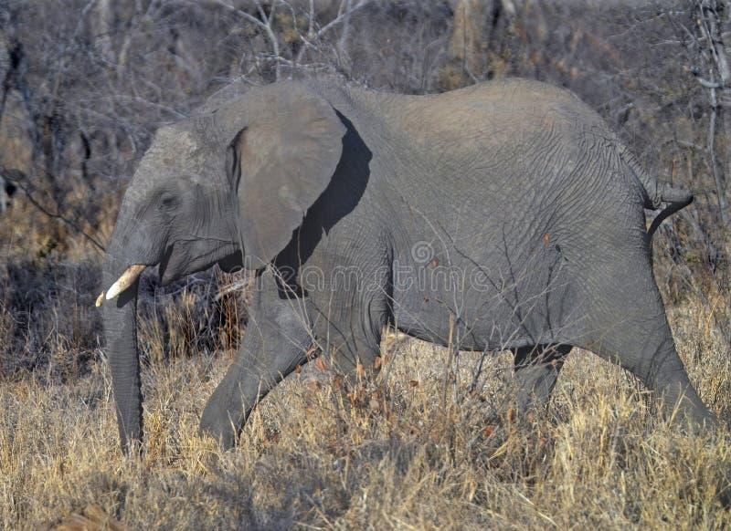 Striding do elefante imagens de stock royalty free