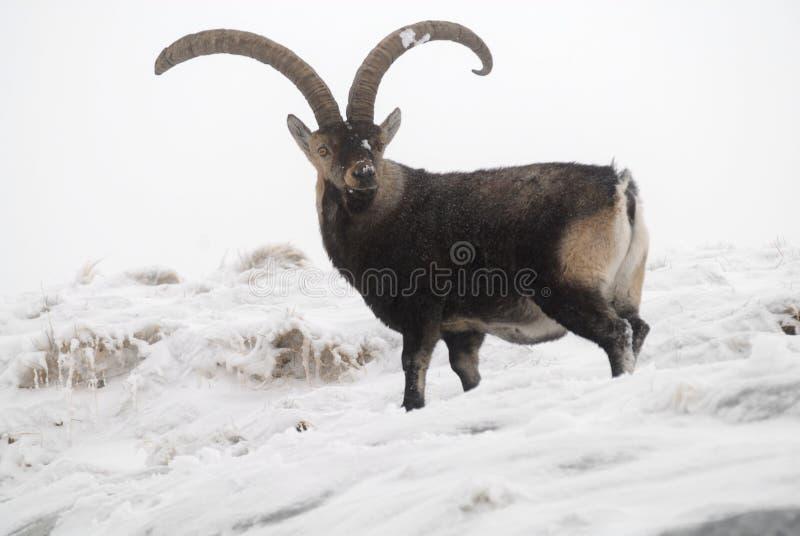 Strijd in mannelijke berg Gredos royalty-vrije stock fotografie