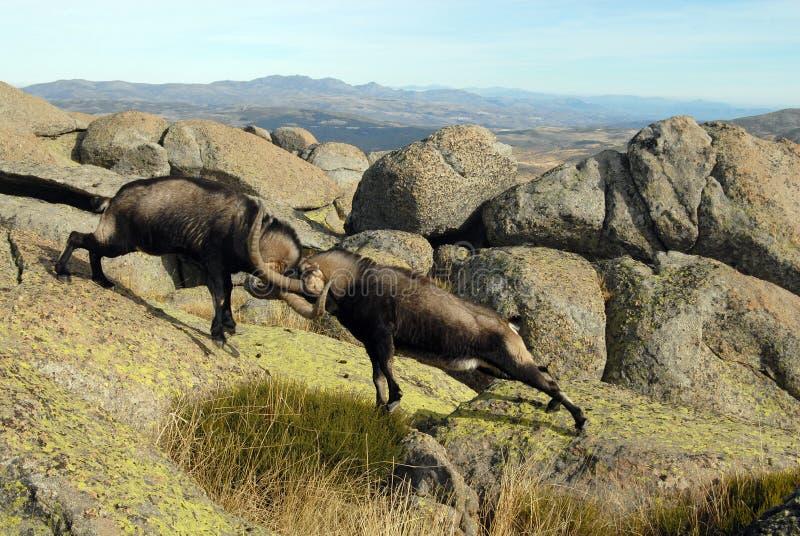 Strijd in mannelijke berg Gredos stock foto