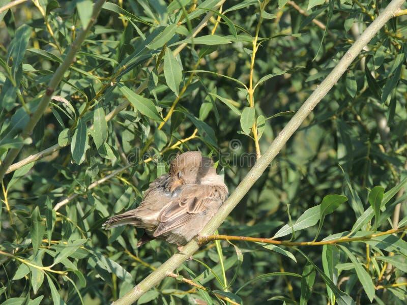 Strijk Huismus op een tak van een wilg glad, wijfje stock fotografie