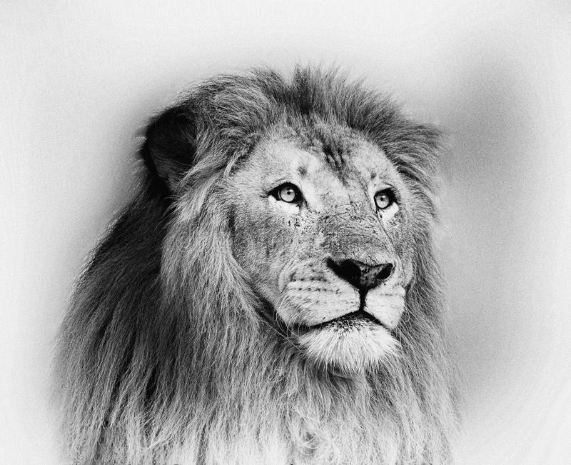Striking Black and White Lion Face Portrait stock photo