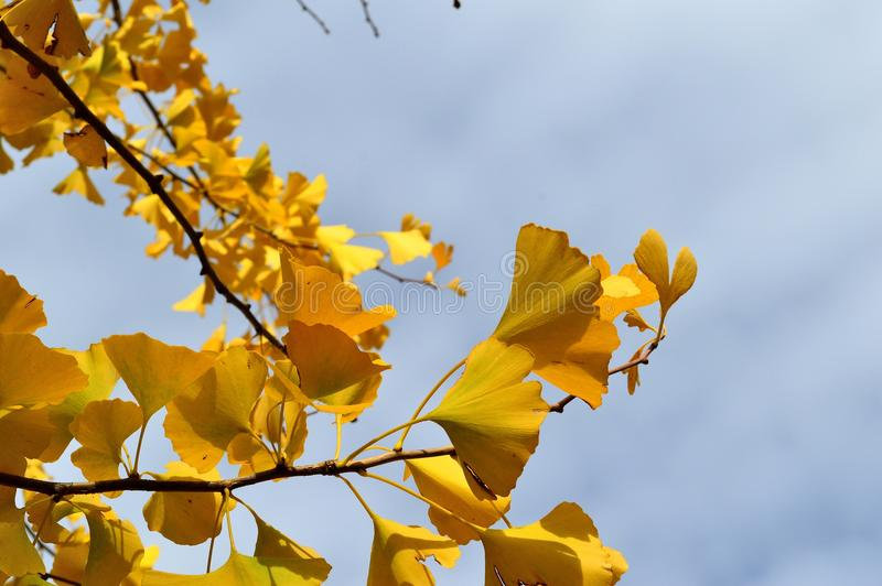 Download Autumn Leaves Ginko Biloba Maidenhair Tree Stock Image - Image of shaped, blue: 106250759