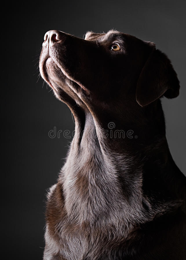 Striking Chocolate Labrador Looking Up. Low Key Shot of a Striking Chocolate Labrador Looking Up royalty free stock photos
