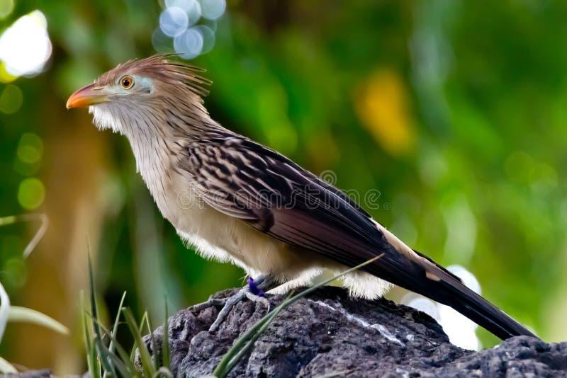 A Striking Closeup Pose of a Guira Cuckoo Bird. stock photo