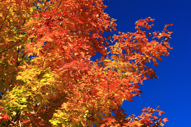 The Striking Colors of Autumn. A tree's color filled branches are contrasted against a deep blue autumn sky royalty free stock photography