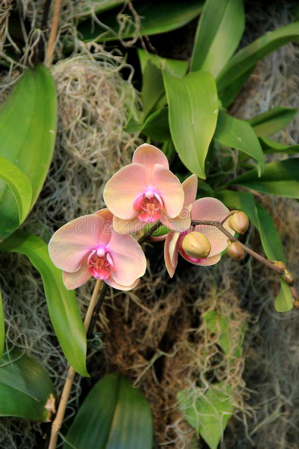 Striking image of exotic orchids tucked into healthy green foliage of tropical garden. Beautiful exotic orchids in a soft pink color tucked between healthy green royalty free stock images
