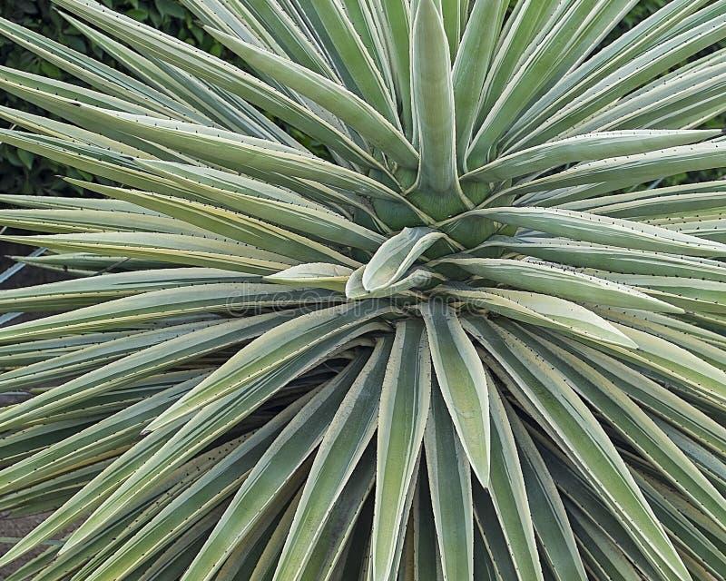 Striking succulent plant stock image