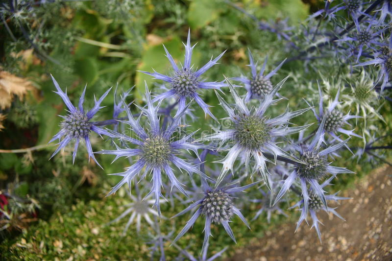 Sea holly (Eryngium). Striking vivid blue sea holly (Eryngium) with green leaves as background royalty free stock image