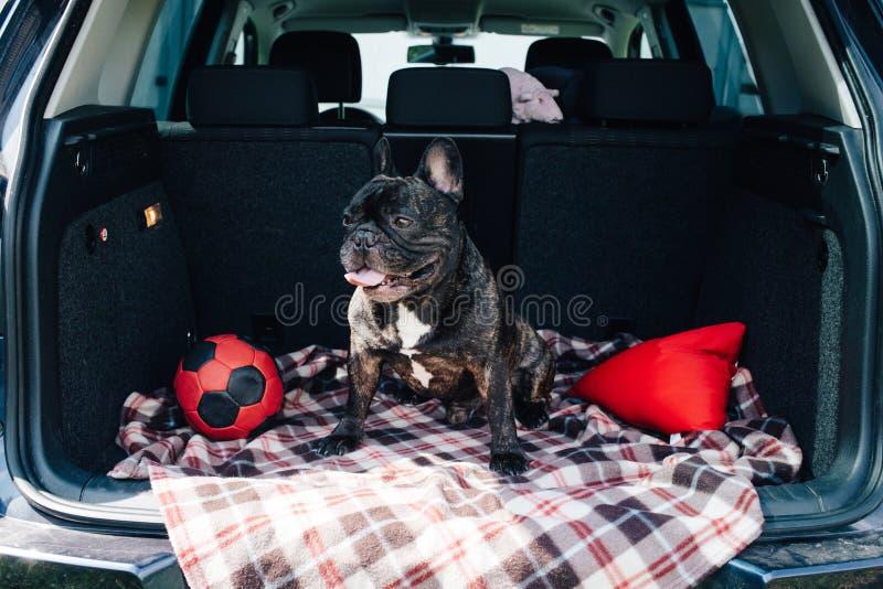 Strimmig fransk bulldogg som sitter i stammen av en bil på en pläd med en röd boll och en kudde i soligt väder som reser med arkivbild