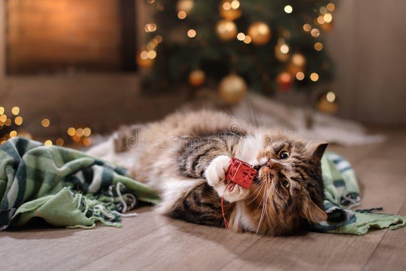 Strimmig katt och lycklig katt Jul kryddar 2017, nytt år, ferier och beröm fotografering för bildbyråer