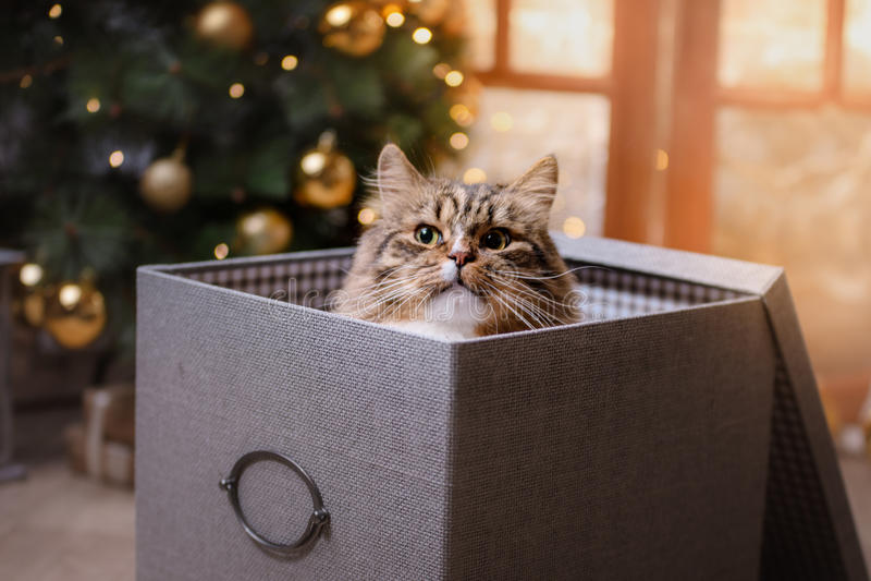 Strimmig katt och lycklig katt Julsäsong 2017, nytt år arkivfoton