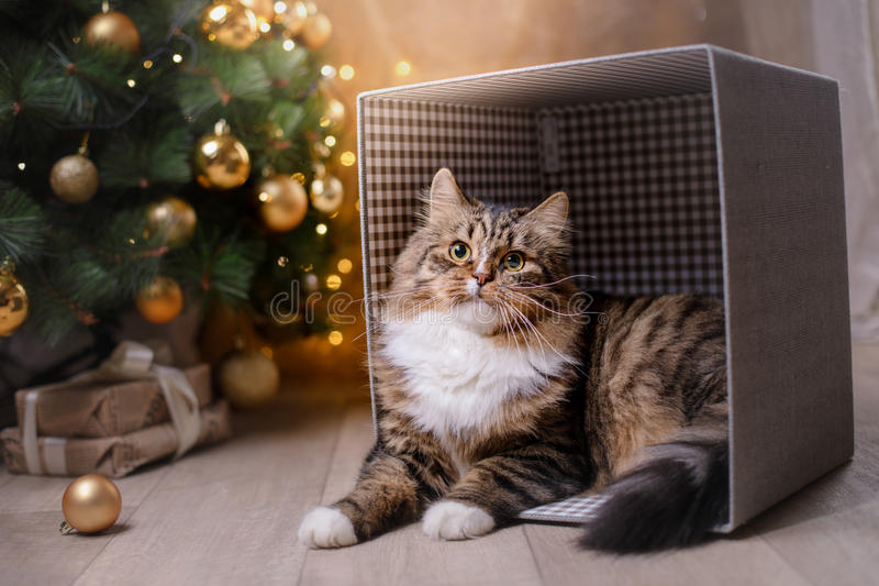 Strimmig katt och lycklig katt Julsäsong 2017, nytt år arkivbild