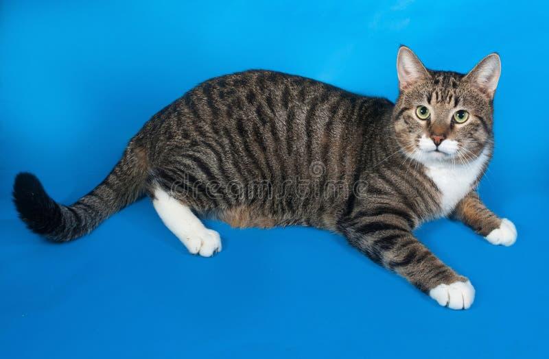 Strimmig katt och vitkatt som ligger på blått royaltyfria bilder