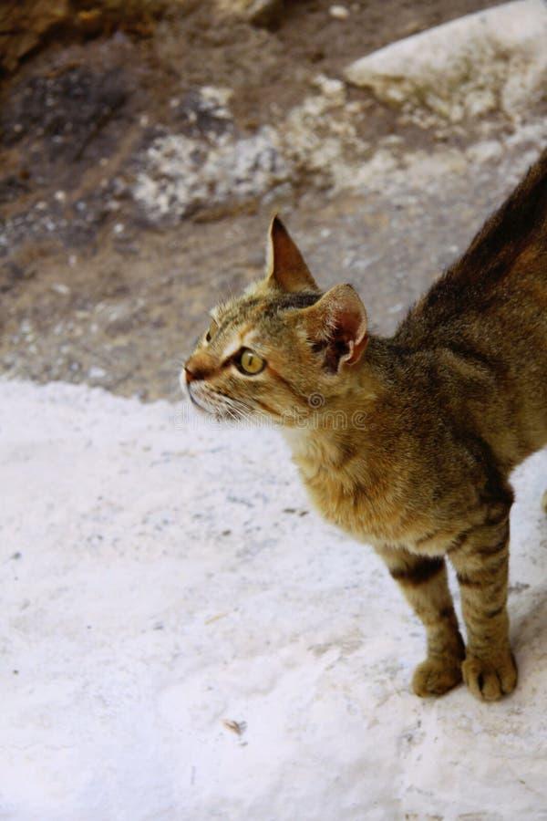 Strimmig kattbruntkatt, Grekland fotografering för bildbyråer