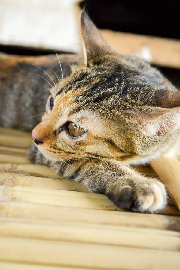 Strimmig kattkatt på bambugolv royaltyfria foton