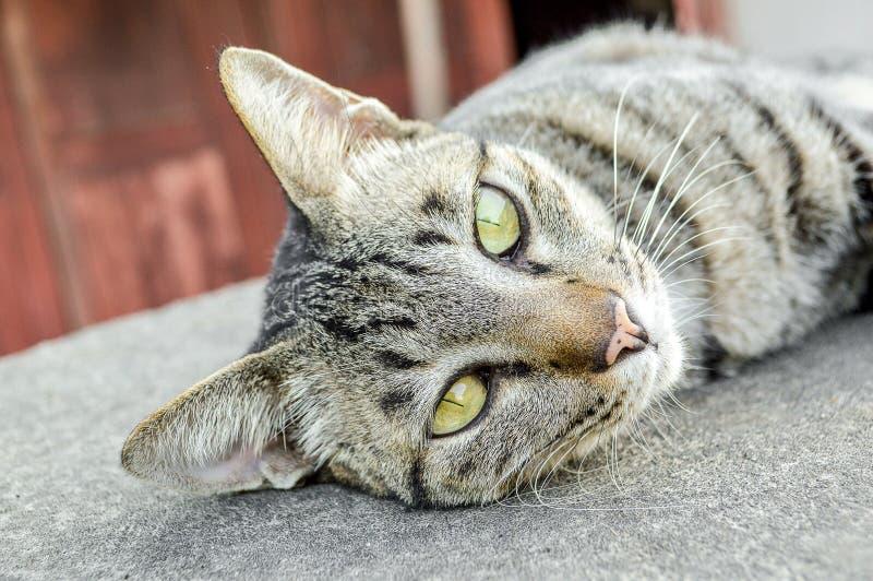 Strimmig kattkatt på cementgolv fotografering för bildbyråer