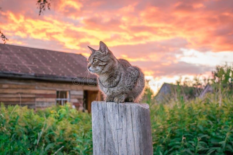 Strimmig kattkatt på solnedgången i byn royaltyfri bild