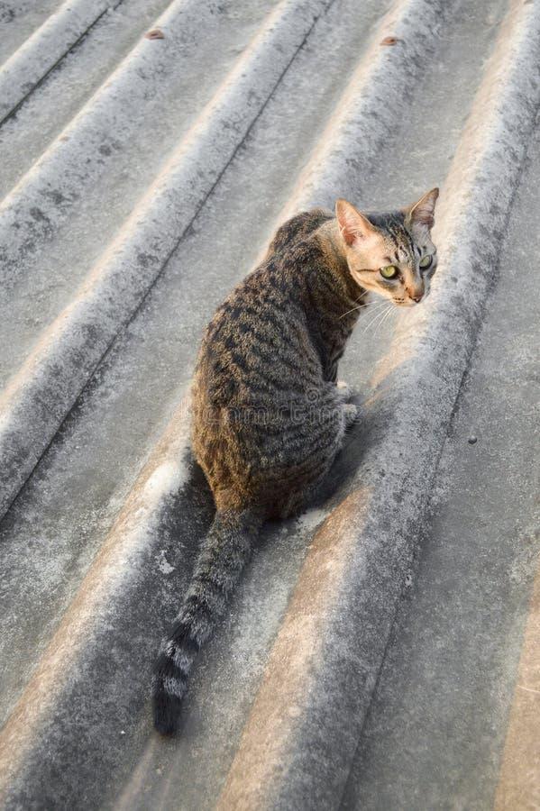 Strimmig kattkatt på tegelplattataket fotografering för bildbyråer
