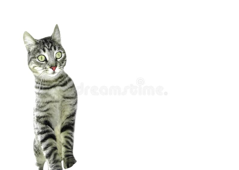 Strimmig kattkatt på två ben som förvånas med öppna stora ögon royaltyfria foton