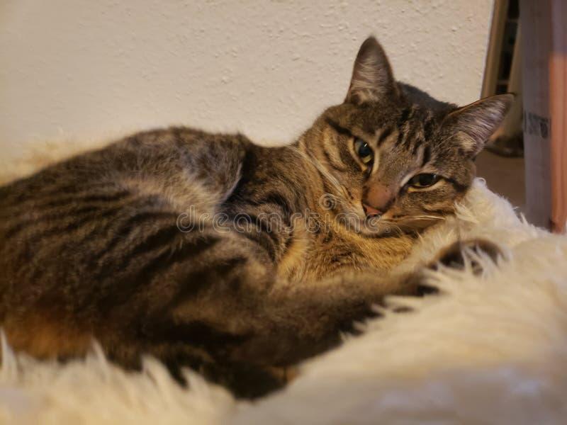 Strimmig kattkatten är slö på den luddiga vita filten royaltyfri bild