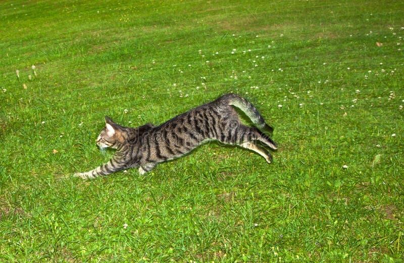 Strimmig kattkatten gör ett stort att hoppa i trädgården fotografering för bildbyråer