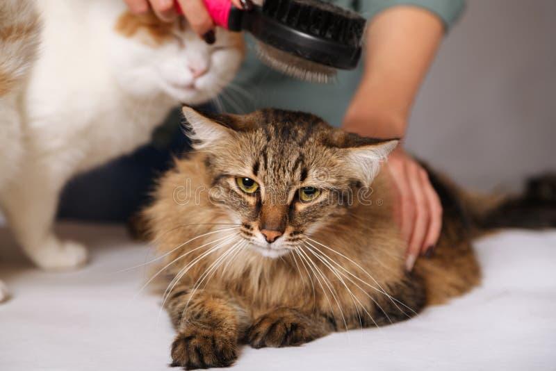 Strimmig kattkatten lägger och tycker om att kamma, och den annan katten håller ögonen på honom Begreppet av älsklings- omsorg royaltyfri fotografi