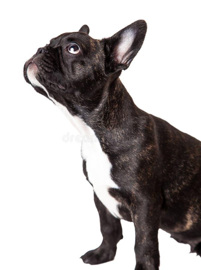 Strimmig valp för fransk bulldogg fotografering för bildbyråer