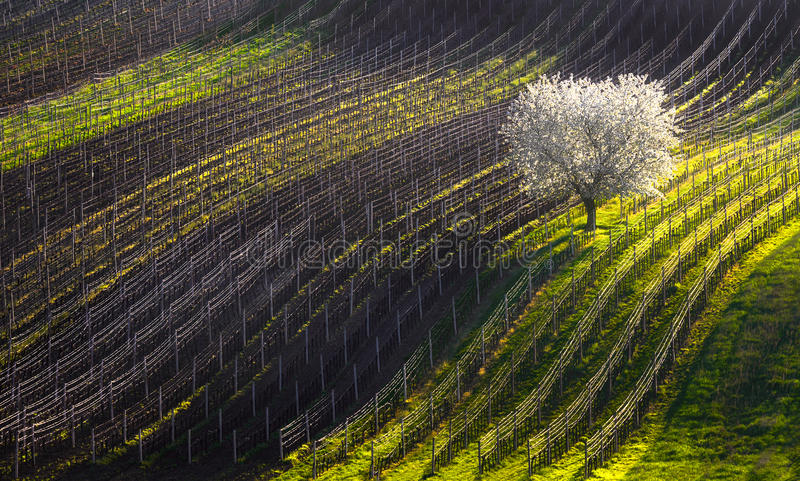 Strings of spring. The beginning of spring and the first flowering tree.White apple-tree and line of vineyards. royalty free stock photo
