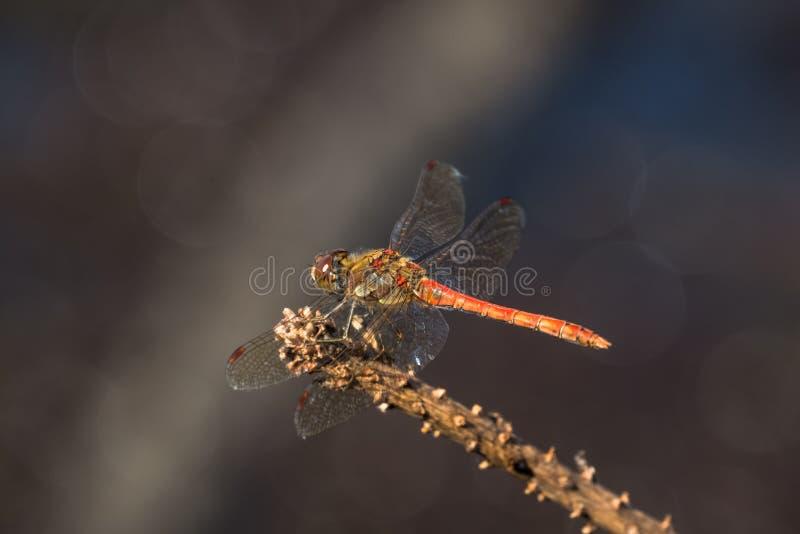 Striolatum común de Sympetrum de la libélula del Darter del varón fotos de archivo libres de regalías