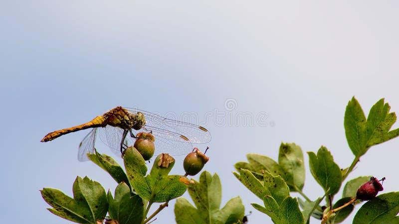 striolatum común de Sympetrum de la libélula del darter foto de archivo libre de regalías
