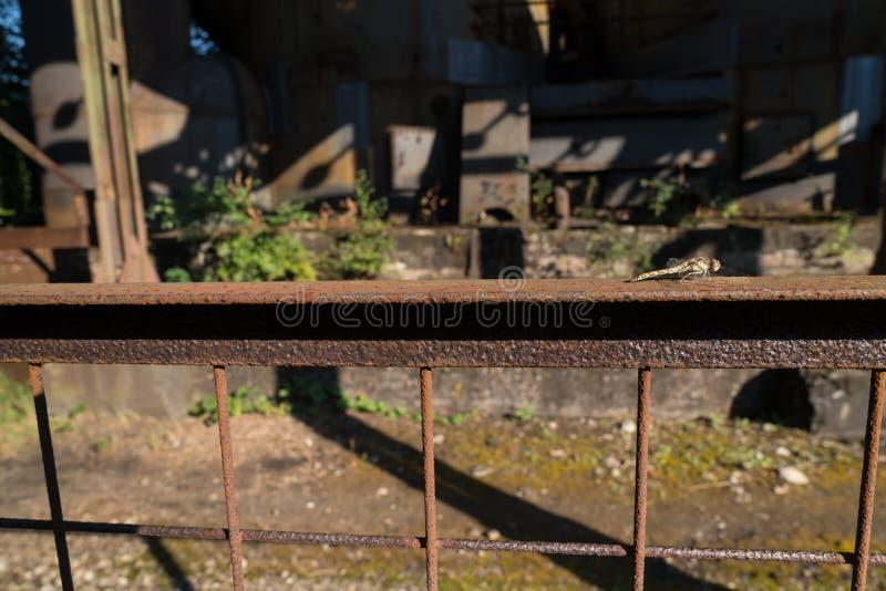 Striolatum común de Sympetrum de la libélula del darter que se sienta en una cerca oxidada del metal en el parque Alemania de Dui foto de archivo libre de regalías