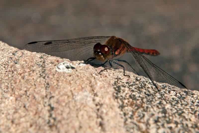 Striolatum de Sympetrum, libélula común del Darter fotografía de archivo