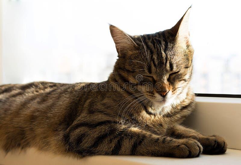 Stripe кот napping и лежа на windowsill стоковое изображение